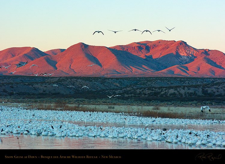 SnowGeese_atDawn_6440