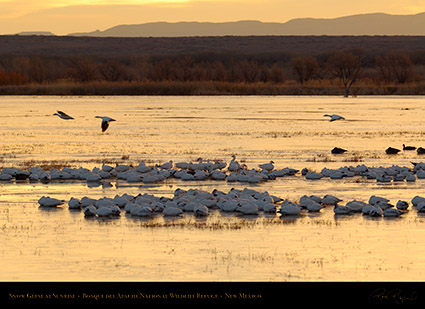 Snow_Geese_at_Sunrise_X6407