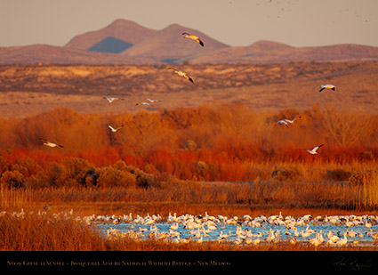 Bosque_SnowGeese_atSunset_X3480