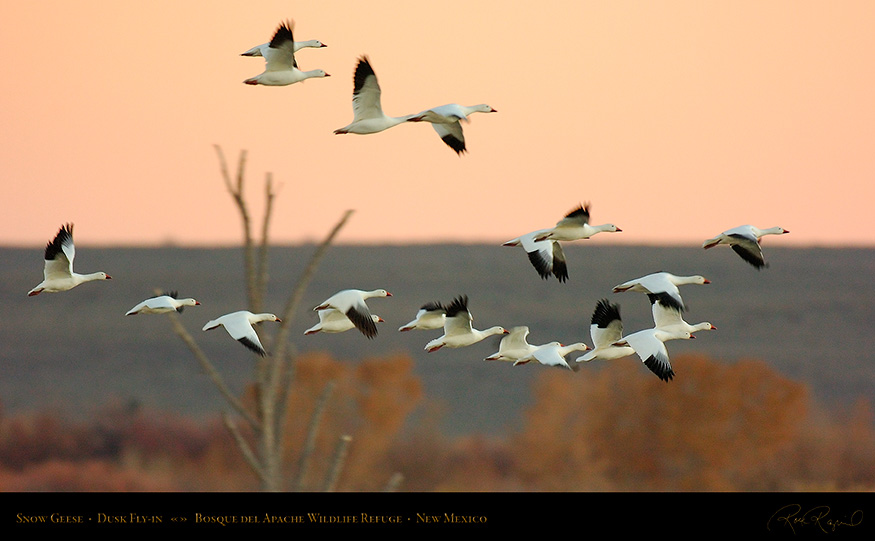 SnowGeese_DuskFly-in_5436_16x9