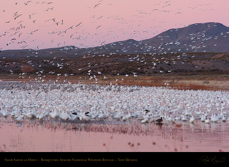 SnowGeese_atDawn_3020