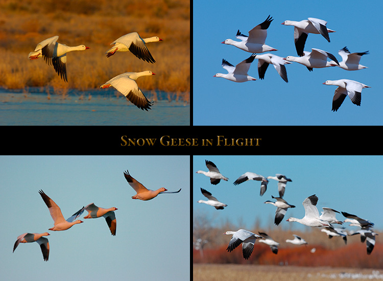 SnowGeese_Flight