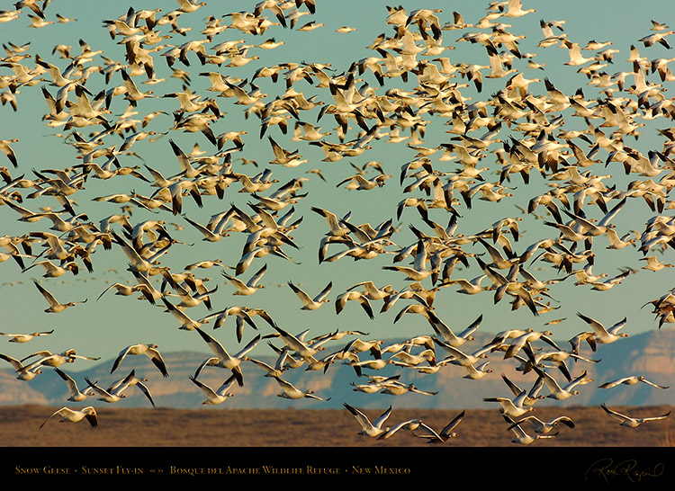 SnowGeese_SunsetFly-in_3073