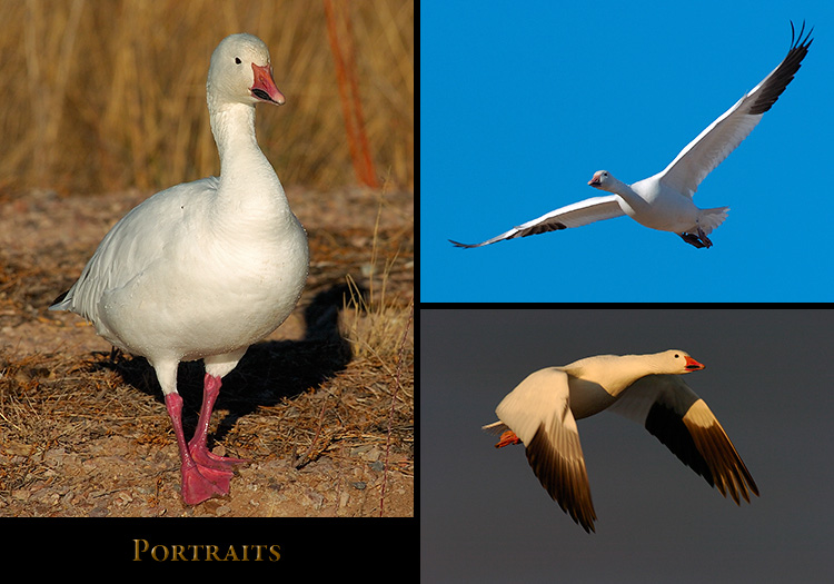 SnowGoose_Portraits