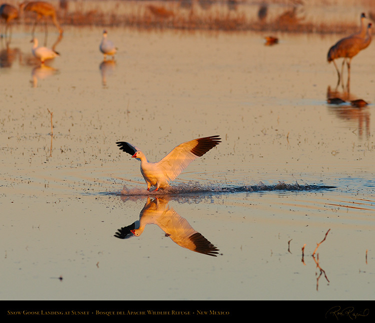 SnowGoose_SunsetLanding_0436Ms