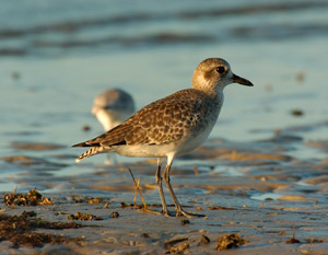 Black-Bellied_Plover_Sunrise_1371