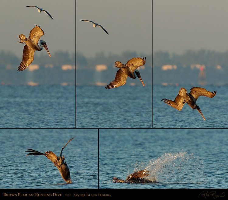 BrownPelicanHunting_Sunrise