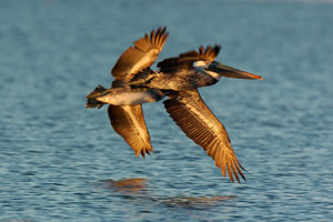 BrownPelicanHunting_Sunrise_1287