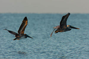 BrownPelicanHunting_Sunrise_1292