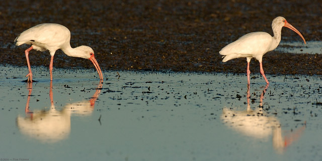 Ibis_Feeding_Sunrise_1457