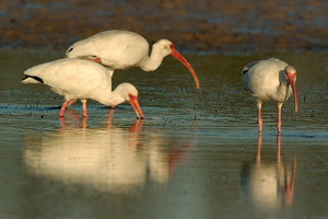 Ibis_Feeding_Sunrise_1494