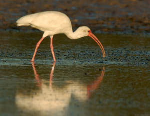 Ibis_Feeding_Sunrise_1497
