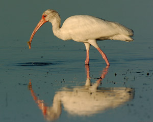 Ibis_Feeding_Sunrise_1510