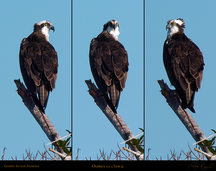 Osprey_on_aStick