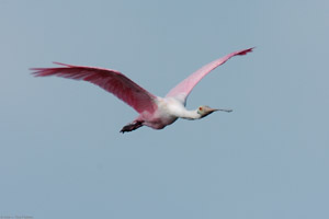 RoseateSpoonbill_Flight_9885