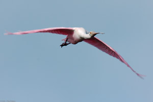 RoseateSpoonbill_Flight_9888