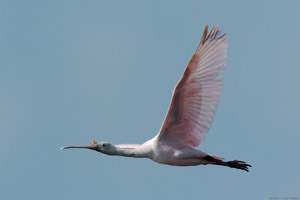 RoseateSpoonbill_Flight_9901