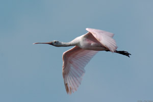 RoseateSpoonbill_Flight_9902