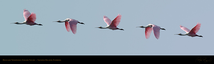 RoseateSpoonbill_Flight_9911-16