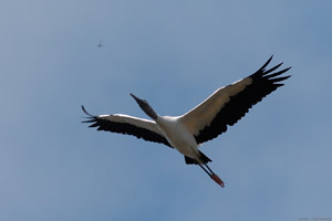 WoodStork_Dragonfly_Flight_1687
