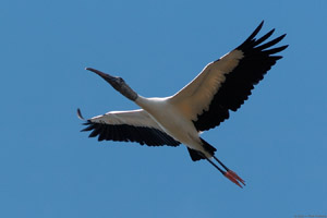 WoodStork_Flight_1694