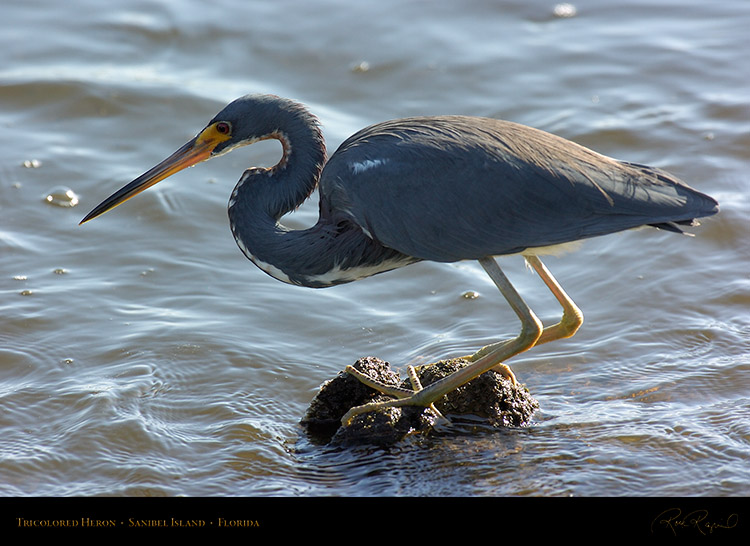 Tricolored_Heron_0383