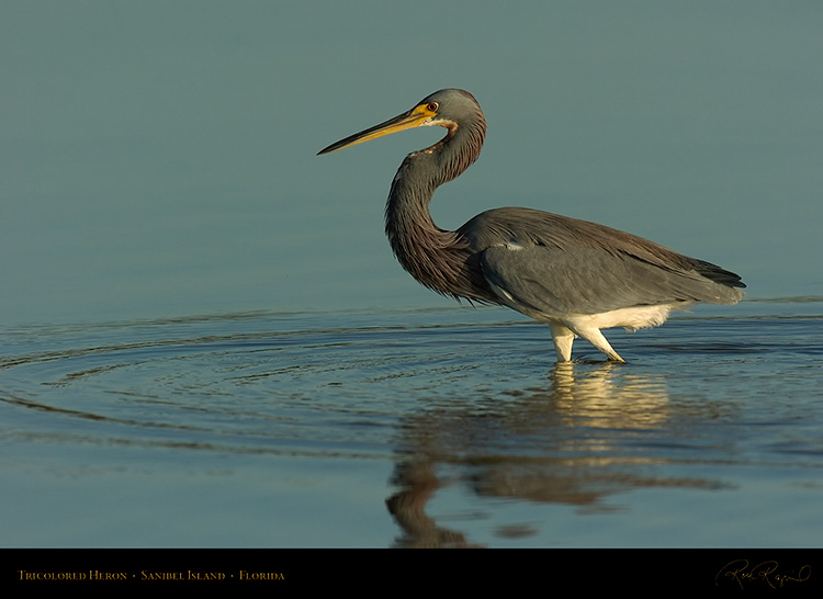 Tricolored_Heron_1534