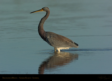 Tricolored_Heron_1550