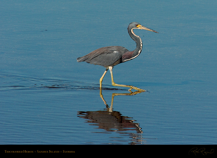 Tricolored_Heron_2138