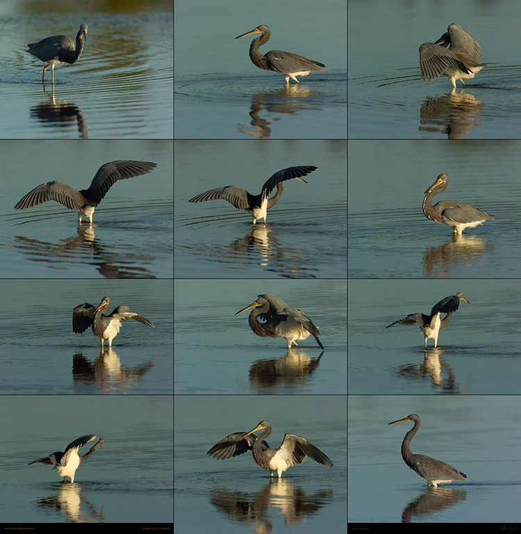 Tricolored_Heron_Display_SXXL