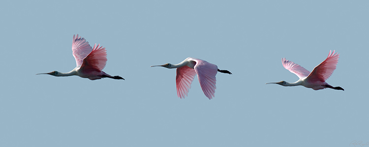RoseateSpoonbill_Flight_s