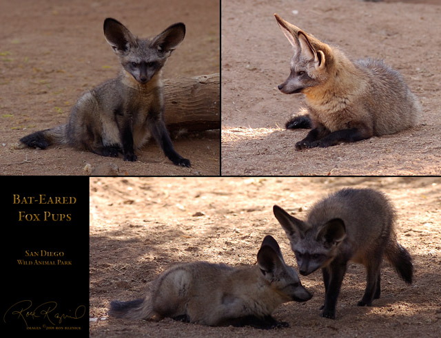 Bat-Eared_FoxPups_Msigned