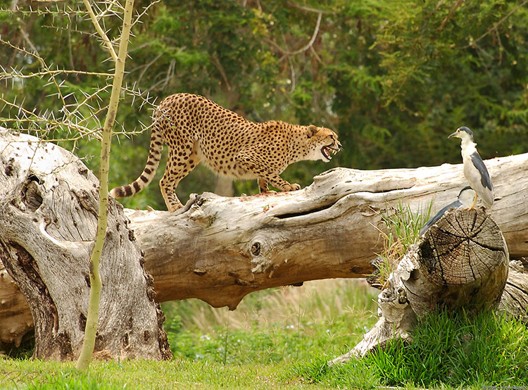 Cheetah_Lunchtime_5348