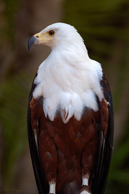 African_FishEagle_HS6374LG