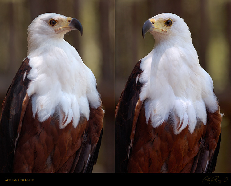 African_FishEagle_HS6455-68_M