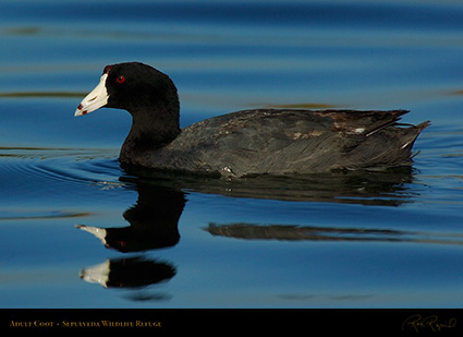 Coot_Adult_6803