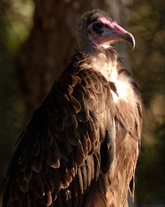 Hooded_Vulture_HS3873