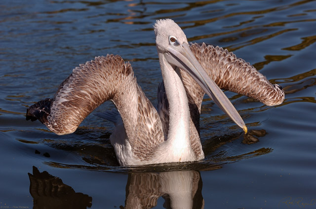 Pink-Backed_Pelican_HS1646