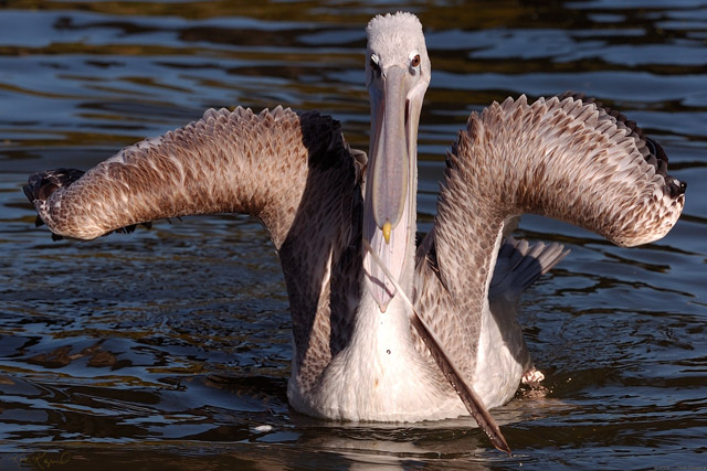 Pink-Backed_Pelican_HS1647LG