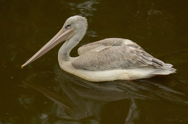 Pink-Backed_Pelican_X1518LG