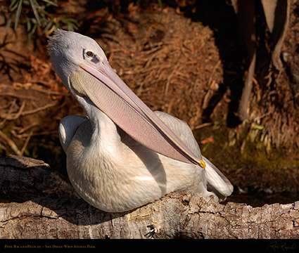 PinkBacked_Pelican_HS3633LG