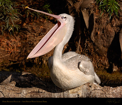 PinkBacked_Pelican_HS3677M