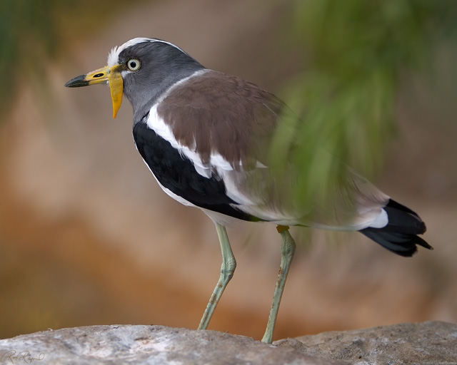 Wattled_Plover_X8676LG