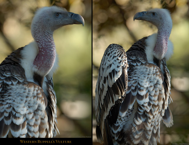 Western_Ruppells_Vulture_X8464_66_M