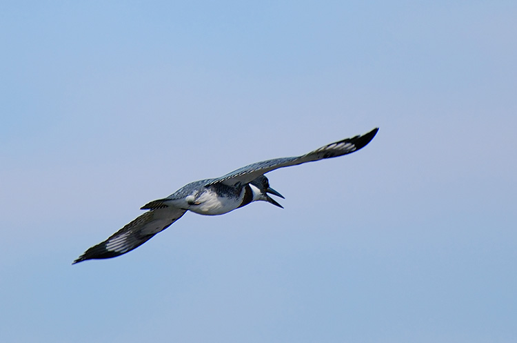 Belted_Kingfisher_Flight_X5344