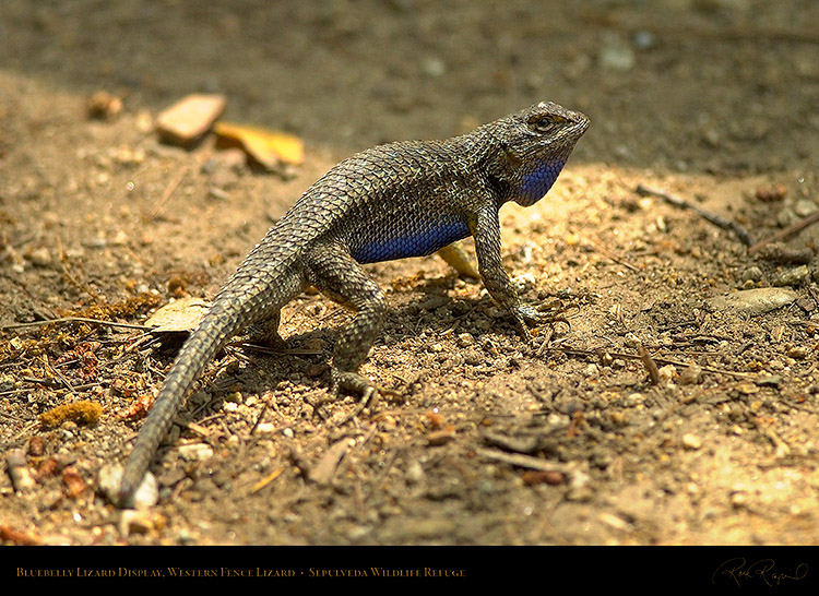 Bluebelly_Lizard_Display_9811
