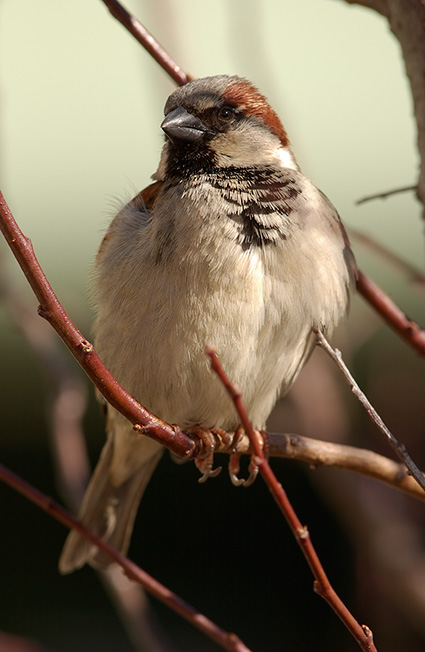 SparrowMale_9254