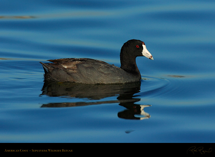 Coot_6797
