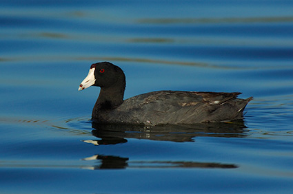 Coot_6805