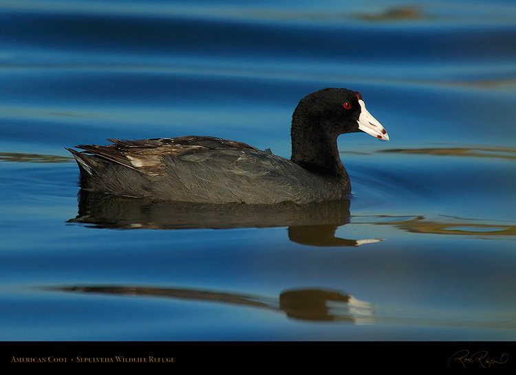 Coot_6823